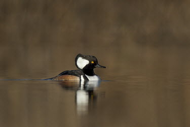 A male hooded merganser swims along a pond on a sunny and calm winter morning Hooded Merganser,Waterfowl,brown,duck,early,male,morning,reflection,swimming,water,water level,white,Animal,BIRDS,black,low angle,nature,wildlife,yellow