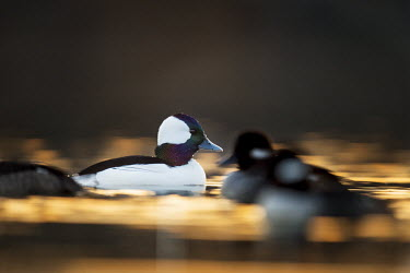 A small group of bufflehead swim right in front of me as the sun begins to rise with an orange glow on the water bufflehead,birds,duck,ducks,Animalia,Chordata,Aves,Anseriformes,Anatidae,Bucephala albeola,Waterfowl,backlight,drake,early,female,group,hen,iridescent,morning,orange,sunrise,swimming,water,water level