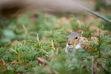 A grey squirrel eats food in a field of green ground pine bird seed,brown,close,shallow focus,eating,feeding,fur,furry,grey,gray squirrel,green,holding,paws,seed,shell,sitting,squirrel,tail,whiskers,white,Grey squirrel,Sciurus carolinensis,Rodents,Rodentia,S