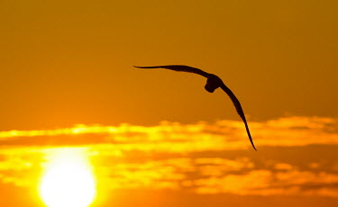 A gull flies in front of a colourful orange sunrise with its wings outstretched Silhouette,clouds,flying,orange,sun,sunrise,white,wing,wings,Gull,BIRDS,animal,bird,black,nature,wildlife,yellow