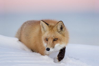 A red fox stalks though a deep snow a dusk with a pink and purple sky background Island Beach State Park,cold,dusk,fox,fur,orange,pink,red fox,sky,snow,stalking,walking,white,winter,Red fox,Vulpes vulpes,Chordates,Chordata,Mammalia,Mammals,Carnivores,Carnivora,Dog, Coyote, Wolf, F