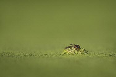A small frog surfaced through the bright green duckweed to reveal its large eye Summer,amphibian,duckweed,eye,frog,green,sunlight,water level,Common frog,Rana temporaria,Anura,Frogs and Toads,Amphibians,Amphibia,Ranidae,Ranids,Chordates,Chordata,Rana Bermeja,Aquatic,liui,temporar