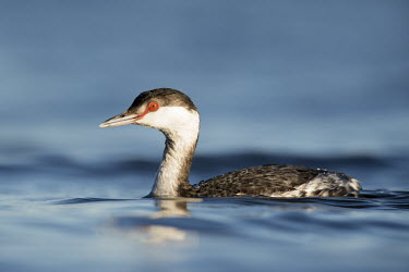 A horned grebe swims along in the bright blue Florida water with its red eye standing out blue,GREBES,Horned Grebe,bright,eye,red,sun,water,water level,white,Horned grebe,Podiceps auritus,Grebes,Podicipediformes,Ciconiiformes,Herons Ibises Storks and Vultures,Aves,Birds,Podicipedidae,Chord