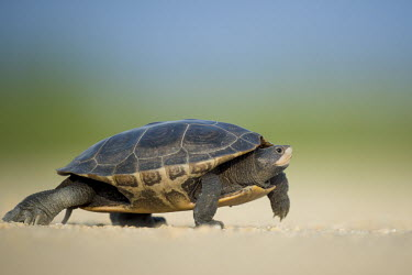 A diamond Back Terrapin walks across a dirt road on a sunny afternoon blue,brown,diamond back terrapin,dirt,grey,green,reptile,shell,turtle,walking,Diamondback terrapin,Malaclemys terrapin,Diamondbacked terrapin,Turtles,Testudines,Reptilia,Reptiles,Chordates,Chordata,Po
