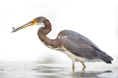A juvenile tri-coloured heron stands in shallow water with a small minnow it just caught in its bill Tri-Coloured Heron,brown,catch,eating,feeding,fish,fishing,grey,high key,juvenile,legs,minnow,rust colour,small,smooth background,soft light,sunny,wading,white,white background,Tricoloured heron,Egret