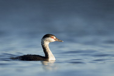 A horned grebe swims on the bright blue water on a sunny evening showing off its red eye blue,GREBES,Horned Grebe,eye,red,sunlight,sunny,swimming,water level,white,Horned grebe,Podiceps auritus,Grebes,Podicipediformes,Ciconiiformes,Herons Ibises Storks and Vultures,Aves,Birds,Podicipedida