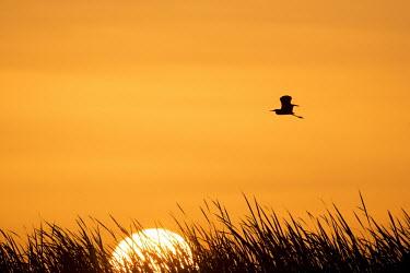 A tri-coloured heron is silhouetted against a bright orange sky at sunrise Silhouette,Tri-Coloured Heron,cattail,dark,flying,marsh grass,morning,orange,outline,scenic,shape,sky,sun,sunrise,wings,Tricoloured heron,Egretta tricolor,Tricoloured Heron,Chordates,Chordata,Aves,Bir