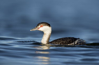 A horned grebe swims on the bright blue water on a sunny evening showing off its red eye blue,GREBES,Horned Grebe,eye,red,reflection,sunlight,sunny,swimming,water level,white,Horned grebe,Podiceps auritus,Grebes,Podicipediformes,Ciconiiformes,Herons Ibises Storks and Vultures,Aves,Birds,P