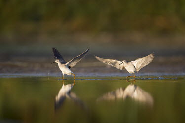 A pair of lesser yellowlegs chase each other across the shallow water Lesser legs,bird,birds,wader,coastal,wetland,sandpiper,action,brown,chasing,early,flapping,green,legs,morning,reflection,sunny,water level,white,wings,Lesser yellowlegs,Tringa flavipes,Ciconiiformes,H
