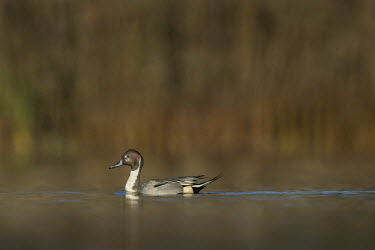 A male Northern pintail swims along on a bright sunny morning against a smooth brown background Northern Pintail,Waterfowl,bright,brown,duck,early,floating,grey,iridescent,morning,sunny,swimming,water,water level,Anas acuta,Aves,Birds,Ducks, Geese, Swans,Anatidae,Anseriformes,Chordates,Chordata,