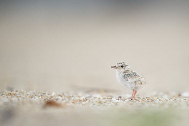 A small least tern chick stands on the sandy beach in the morning sunlight least tern,tern,terns,baby,beach,brown,chick,cute,early,grey,morning,sand,small,tiny,white,Sternula antillarum,BIRDS,Least Tern,animal,baby animal,baby bird,black,gray,ground level,low angle,wildlife