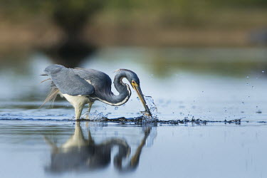 A tri-coloured heron plucks a small fish from the shallow water with a big splash on a sunny morning Tri-Coloured Heron,fish,fishing,grey,green,reflection,shallow,soft light,splash,wading,water,water drop,water level,white,Tricoloured heron,Egretta tricolor,Tricoloured Heron,Chordates,Chordata,Aves,B