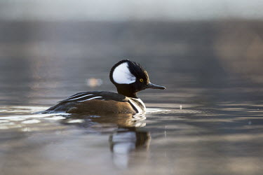 A male hooded merganser swims on a calm pond just as the sun rises Hooded Merganser,Waterfowl,brown,calm,duck,early,morning,reflection,swimming,water,water level,white,winter,Animal,BIRDS,black,low angle,nature,wildlife,yellow