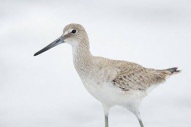A willet stands in front of the foamy ocean on a foggy morning Portrait,sandpiper,bird,birds,shorebird,Willet,brown,foggy,grey,hi-key,high key,light,minimal,overcast,soft light,tan,white,Catoptrophorus semipalmatus,Charadriiformes,Shorebirds and Terns,Sandpipers,