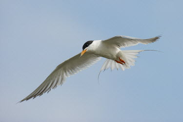 A Forsters tern glides on the air currents on a sunny afternoon with a soft blue sky blue,blue Sky,Forsters tern,tern,terns,bird,birds,seabird,shorebird,coastal,coast,feather,feathers,feet,flight,flying,movement,orange,sky,soaring,white,wing,wings,Forster's tern,Sterna forsteri,Aves,B