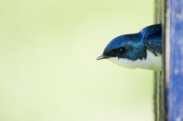 A tree swallow peeks its head out of a nest box blue,Portrait,swallow,bird,birds,Tree Swallow,bird house,close,green,head,iridescent,nest,nest box,peeking,smooth background,soft light,turquoise,white,wood,Tree swallow,Tachycineta bicolor,Chordates,