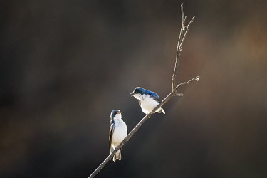 A pair of tree swallows call out at each other while perched on a branch on a sunny morning blue,swallow,bird,birds,Tree Swallow,backlight,calling,dark background,interaction,pair,perched,smooth background,stick,sunny,white,Tree swallow,Tachycineta bicolor,Chordates,Chordata,Aves,Birds,Swall