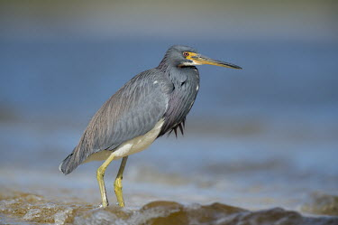 A tri-coloured heron stands in the shallow waves on a bright sunny day with blue water blue,Tri-Coloured Heron,grey,red,sunny,water,waves,white,Tricoloured heron,Egretta tricolor,Tricoloured Heron,Chordates,Chordata,Aves,Birds,Herons, Bitterns,Ardeidae,Ciconiiformes,Herons Ibises Storks