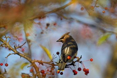 A cedar waxwing looks over its back showing off its mask as it sits perched on a branch of red berries early in the morning blue,blue Sky,waxwing,Crab apple,bird,birds,berries,brown,early,grey,mask,morning,perched,red,sunlight,sunny,tree,Cedar waxwing,Bombycilla cedrorum,Perching Birds,Passeriformes,Aves,Birds,Bombycillida