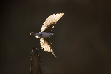 A tree swallow spreads its wings to take off in the bright morning sun blue,swallow,bird,birds,Tree Swallow,action,backlight,dark,dark background,dramatic,early,fast,flying,glow,morning,orange,perch,stump,sunny,take off,white,wings,Tree swallow,Tachycineta bicolor,Chorda