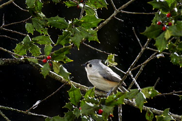A tufted titmouse perched on a branch of holly against a black background in the rain Tufted Titmouse,berries,bird feeder,dramatic,flash,grey,green,holly,perched,rain,red,white,Baeolophus bicolor,Tufted titmouse,Perching Birds,Passeriformes,Chickadees, Titmice,Paridae,Aves,Birds,Chorda