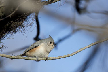 A tufted titmouse is perched on a branch with a bright blue sky on a sunny day blue Sky,Tufted Titmouse,bright,brown,grey,orange,perched,rust,sunny,white,Tufted titmouse,Baeolophus bicolor,Perching Birds,Passeriformes,Chickadees, Titmice,Paridae,Aves,Birds,Chordates,Chordata,Nor