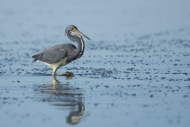 A tri-coloured heron walks in the shallow water in search of food with a reflection of the bird blue,Tri-Coloured Heron,bubbles,fishing,grey,morning,red,reflection,sunny,wading,walking,water,water level,white,Tricoloured heron,Egretta tricolor,Tricoloured Heron,Chordates,Chordata,Aves,Birds,Hero