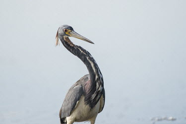 A tri-coloured heron stands in front of a white background with its neck curved on a sunny day blue,Tri-Coloured Heron,bright,curve,eye,feathers,grey,high key,light,neck,red,reflection,sunny,water,water level,white,Tricoloured heron,Egretta tricolor,Tricoloured Heron,Chordates,Chordata,Aves,Bir