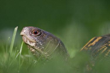 An Eastern box turtle walks through the tall green grass brown,eastern box turtle,reptile,turtle,turtles,Animalia,Chordata,Reptilia,Testudines,Emydidae,Terrapene carolina,American Box Turtle,Common Box Turtle,Mexican Box Turtle,Yucatan Box Turtle,Eastern bo