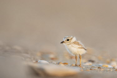 An endangered cute and tiny piping plover chick stands on a sandy beach plover,bird,birds,shorebird,Piping Plover,adorable,beach,brown,chick,cute,early,legs,morning,pebbles,sand,small,soft light,stones,sunlight,sunny,tan,tiny,Piping plover,Charadrius melodus,Aves,Birds,Ch