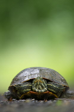 A medium sized turtle sits on a road with a bright green background brown,green,red,reptile,road,turtle,black,low angle,wildlife,yellow