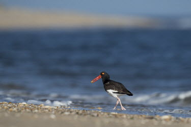 An American oystercatcher walks along the shoreline of the Atlantic ocean with food in its bill oystercatcher,bird,birds,shorebird,coast,coastal,blue,New Jersey,beach,brown,crashing,grey,ocean,orange,sand,water,waves,white,American oystercatcher,Haematopus palliatus,Ciconiiformes,Herons Ibises S