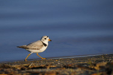 A cute piping plover walks along a shoreline on a sunny morning with a blue water background plover,bird,birds,shorebird,Piping Plover,brown,legs,orange,running,sunny,tan,walking,water,white,Piping plover,Charadrius melodus,Aves,Birds,Charadriiformes,Shorebirds and Terns,Charadriidae,Lapwings
