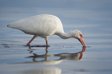 A white ibis wades in shallow blue water as its reflection shows on the surface of the water ibis,bird,birds,White Ibis,calm,evening,eye,feeding,red,reflection,sunlight,water,white,White ibis,Eudocimus albus,Chordates,Chordata,Ciconiiformes,Herons Ibises Storks and Vultures,Threskiornithidae,