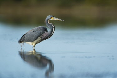 A tri-coloured heron wades in the shallows in search of food in the soft morning sun blue,Portrait,Tri-Coloured Heron,eye,grey,green,red,reflection,shallow,soft light,sunny,wading,water,water level,white,Tricoloured heron,Egretta tricolor,Tricoloured Heron,Chordates,Chordata,Aves,Bird