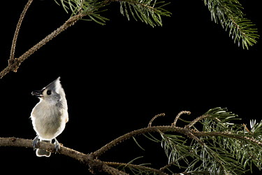 A tufted titmouse is perched on a pine branch against a black background Tufted Titmouse,bird feeder,dramatic,flash,grey,green,perched,pine,pine needles,seed,white,Baeolophus bicolor,Tufted titmouse,Perching Birds,Passeriformes,Chickadees, Titmice,Paridae,Aves,Birds,Chorda