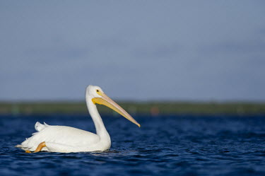 A large American white pelican swims in bright blue water on a sunny afternoon pelican,bird,birds,blue Sky,White Pelican,bright,orange,sunny,swimming,water,water level,white,American white pelican,Pelecanus erythrorhynchos,American White Pelican,Aves,Birds,Ciconiiformes,Herons I