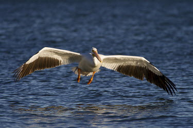 A large American white pelican glides over the surface of the water pelican,bird,birds,White Pelican,evening,feathers,feet,flying,landing,large,orange,reflection,sunlight,sunny,water,water level,white,wings,wingspan,American white pelican,Pelecanus erythrorhynchos,Ame