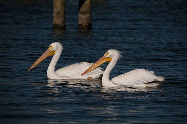 A pair of American white pelicans float along on the blue water on a bright sunny day pelican,bird,birds,floating,orange,pair,reflection,sunny,swimming,water,white,American white pelican,Pelecanus erythrorhynchos,American White Pelican,Aves,Birds,Ciconiiformes,Herons Ibises Storks and