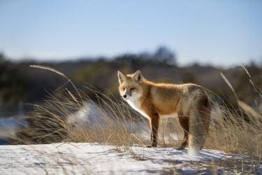 A very handsome red fox pauses for just a moment in the snow and dune grass blue,Island Beach State Park,cold,fox,fur,orange,red fox,snow,white,winter,Red fox,Vulpes vulpes,Chordates,Chordata,Mammalia,Mammals,Carnivores,Carnivora,Dog, Coyote, Wolf, Fox,Canidae,Renard Roux,Zor