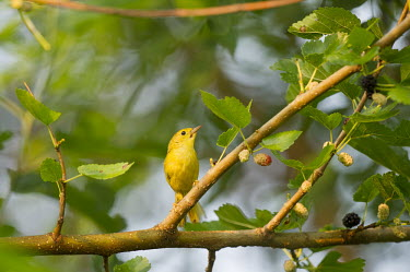 A tiny yellow warbler sits perched on a branch with berries on a sunny morning American Yellow Warbler,Golden Warbler,Yellow Warbler,bird,birds,Animalia,Chordata,Aves,Passeriformes,Parulidae,Setophaga petechia,Warbler,berries,brown,cute,green,leaves,morning,perched,small,soft ba