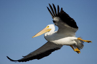 A large white pelican flies in front of a bright blue sky pelican,bird,birds,blue Sky,White Pelican,feet,flying,landing,white,wings,American white pelican,Pelecanus erythrorhynchos,American White Pelican,Aves,Birds,Ciconiiformes,Herons Ibises Storks and Vult