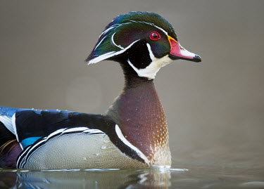 A brilliantly coloured wood duck drake shows off his colours in soft light Waterfowl,Wood Duck,bright,brown,close,colourful,drake,duck,eye,feathers,grey,green,handsome,head,male,orange,pattern,pink,pretty,purple,red,reflection,rust colour,smooth background,soft light,swimmin