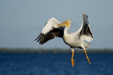 An American white pelican looks rather goofy as it flies in to land on a bright sunny day pelican,bird,birds,blue Sky,White Pelican,awkward,bright,feathers,feet,flying,funny,goofy,horizon,landing,orange,sunny,water,white,wings,American white pelican,Pelecanus erythrorhynchos,American White