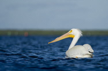 A large American white pelican swims in bright blue water on a sunny afternoon pelican,bird,birds,White Pelican,bright,sunny,swimming,water,water level,white,American white pelican,Pelecanus erythrorhynchos,American White Pelican,Aves,Birds,Ciconiiformes,Herons Ibises Storks and