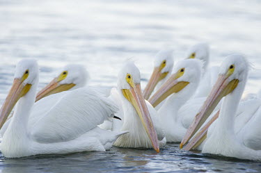 A small flock of American white pelicans swim on the water with a bright white background pelican,bird,birds,White Pelican,flock,group,high key,large,orange,soft light,water level,white,American white pelican,Pelecanus erythrorhynchos,American White Pelican,Aves,Birds,Ciconiiformes,Herons