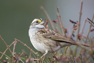 A white-throated sparrow is perched in a bush of branches as the soft morning sun shines White-Throated Sparrow,bird,birds,sparrow,Animalia,Chordata,Aves,Passeriformes,Passerellidae,Zonotrichia albicollis,branches,brown,close,grey,green,overcast,perched,smooth background,soft light,white,