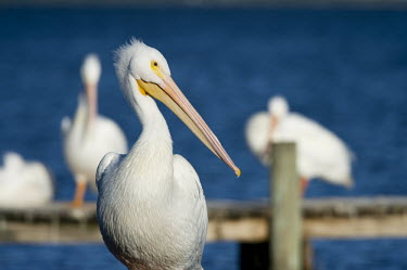 An American white pelican stands on a dock in a close portrait on a bright sunny afternoon pelican,bird,birds,Portrait,White Pelican,bright,dock,orange,sunny,water,white,American white pelican,Pelecanus erythrorhynchos,American White Pelican,Aves,Birds,Ciconiiformes,Herons Ibises Storks and