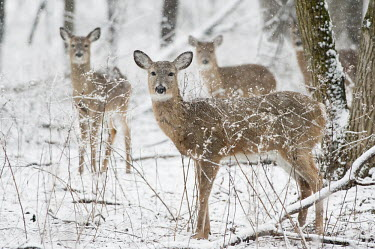 A group of whitetail deer stand in an early spring snow in the forest brown,deer,forest,snow,snowing,white,whitetail deer,White-tailed deer,Odocoileus virginianus,Mammalia,Mammals,Even-toed Ungulates,Artiodactyla,Cervidae,Deer,Chordates,Chordata,Toy deer,Key deer,Cariac