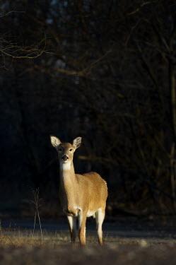 A single whitetail deer doe stands in the late evening sunlight brown,deer,fur,low sun,sunlight,white,white tailed deer,White-tailed deer,Odocoileus virginianus,Mammalia,Mammals,Even-toed Ungulates,Artiodactyla,Cervidae,Deer,Chordates,Chordata,Toy deer,Key deer,Ca